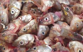 Рыбные отходы и их использование